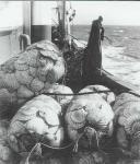 La Pêche à la coquille St Jacques est une des pêches côtière