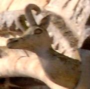 cerf de la légende du précieux sang (extérieur de l'abba